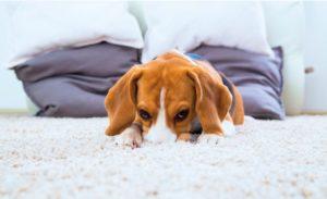 Carpet Odour Treatment Mosman
